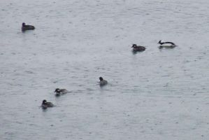 BuffleHeads by dlighted