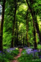 Bluebell Forest by oggie85