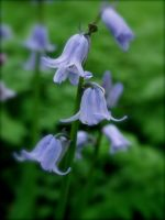 Bluebells 8 by CKPhotos