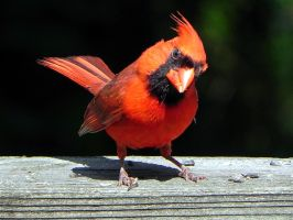 handsome cardinal posing by Lou-in-Canada
