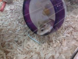 Robo Dwarf Hamster at the Pet Store by Kinetic-Passion