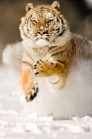 Siberian Tiger 13 by catman-suha