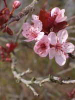 Cherry Blossoms - 5 by littlebirdietoldme