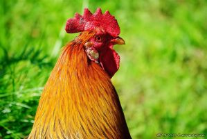 King of the Chicken Coop by imonline