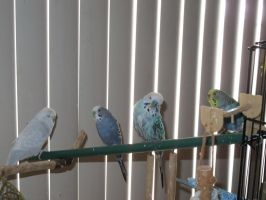 Our Four Budgies 4 by Windthin