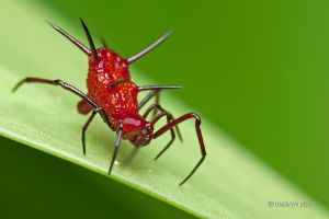 Phoroncidia sp (Theridiidae) by melvynyeo