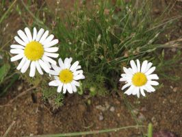 Stock: Camomiles 2 by Think-Outside-Of-Box