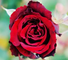 Rose. by Amy-Zarah