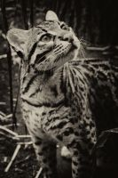 Ocelot by heatherae