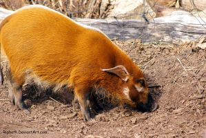 Red River Hog by Riphath
