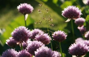 Blooming Chives by there-is-one-future