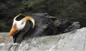 tufted puffin 3 by hazellucy