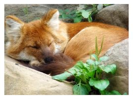 Dhole in the Wall by HeWhoWalksWithTigers