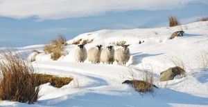 Sheep in the Snow 2 by younghappy