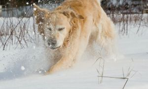 Golden Retriever in snow2 by archaeopteryx-stocks