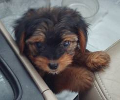 yorkie,dachund,or mix of both? by AngeliLPS