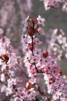 Spring Blossom III by onelook