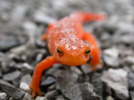 Red eft after rain by pattytsm