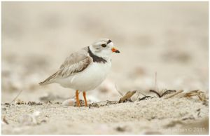 Piping Plover by Ryser915