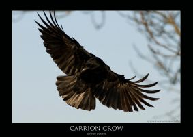 corvus.1 by THEDOC4