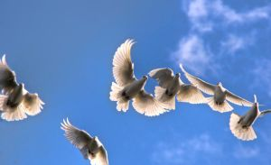 wings of doves by muffet1