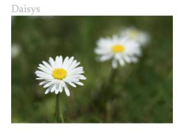 Daisy wallpaper by DL-Photography