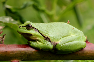 Dutch tree frog by wildroseblossom