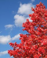 Blue Sky Red Leaves by kmascilak
