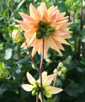 awesome dahlias 19 by ingeline-art