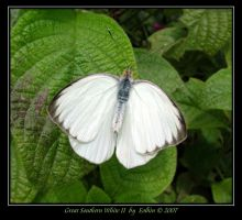 Southern White II 9847 by Eolhin