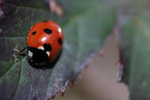 Ladybird by Bugs-and-stuff