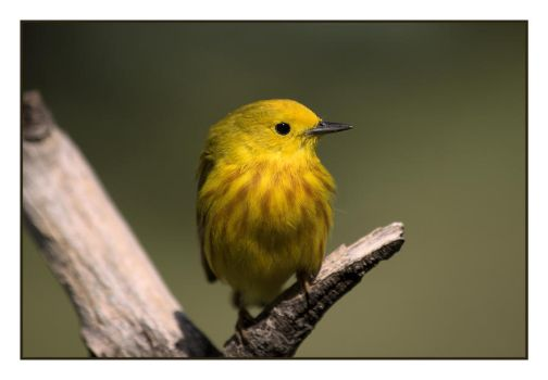 Little Yellow Warbler by dove-51