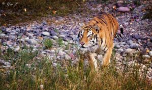 stalking tiger by Yair-Leibovich