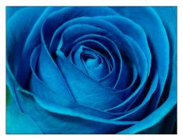 Blue Rose by colour-full