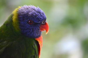 Lorikeet by therampantbookworm
