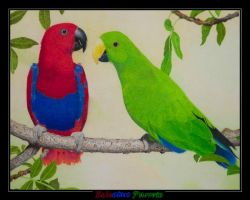 Eclectus Parrots by DPaZZa