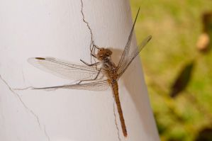 Dragonfly by sareen