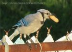 Bluejay With Peanut by euphoricmadness