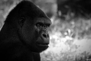 Zoo Duisburg - Gorilla by Mob1