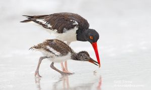 Oystercatcher by AForns