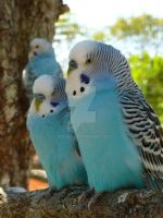 Parakeets love by Oteliex
