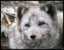 arctic fox portrait by morho