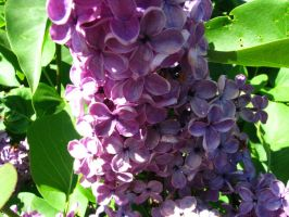 Lilacs 14 May 2015-02 by SkyfireDragon