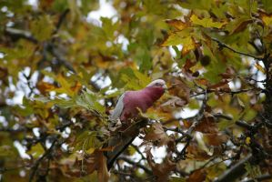 Galah 2 by Valmanther