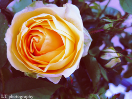 Yellow Rose by wherestherain