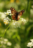 Butterflies IV by Faderica