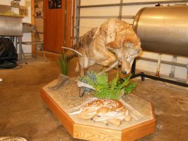 Coyote after fawn taxidermy mount 2 by NCIS2013