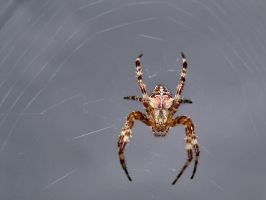Spider by SwaEgo