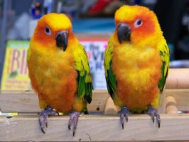 baby sun conures by intertwhined