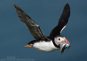 Puffin with Sandeels by Albi748